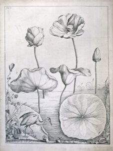 William Bartram, Round Leafed Nymphea Flowering