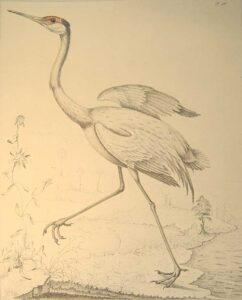 """""""Great Savanah Crane,"""" or the """"Florida Sandhill Crane,"""" by William Bartram. Courtesy of the Natural History Museum, London."""